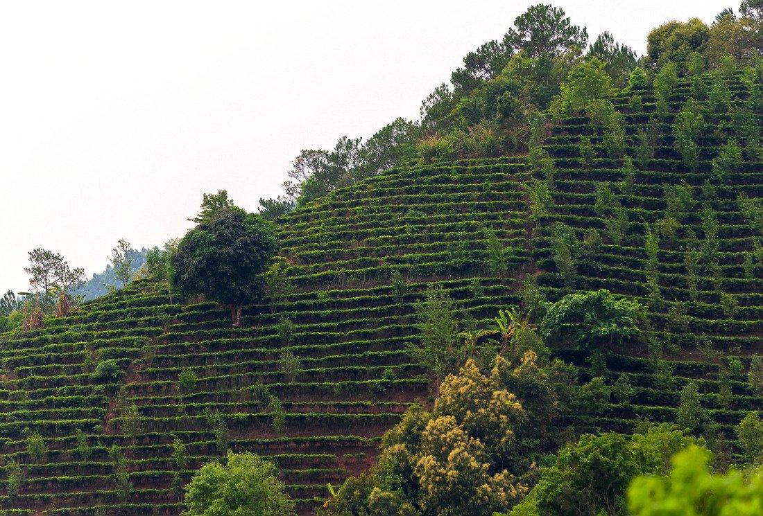 Comment cultiver du thé bio ?