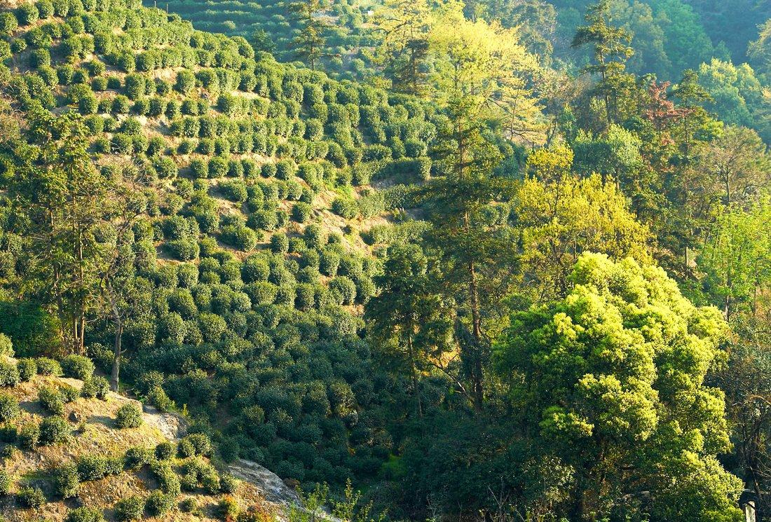 « Le ciel, la terre et l'Homme », les conditions optimales pour cultiver les théiers