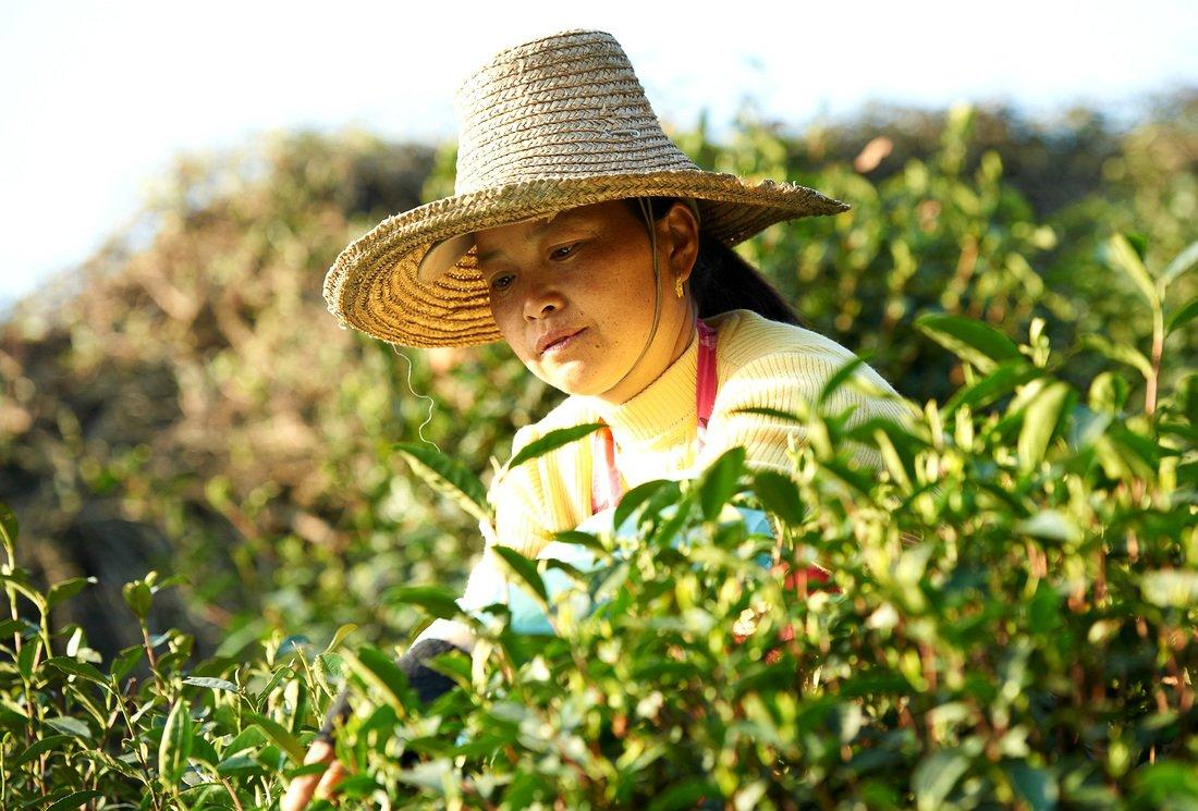 Le thé Commerce Equitable, une démarche éco-citoyenne