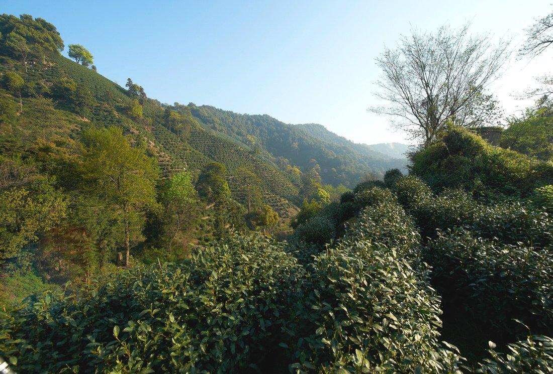 Histoire du thé : les théiers sauvages du Triangle d'Or du thé
