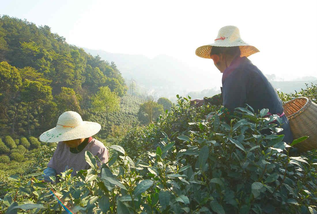 Culture du thé : la récolte, un rituel plusieurs fois par an