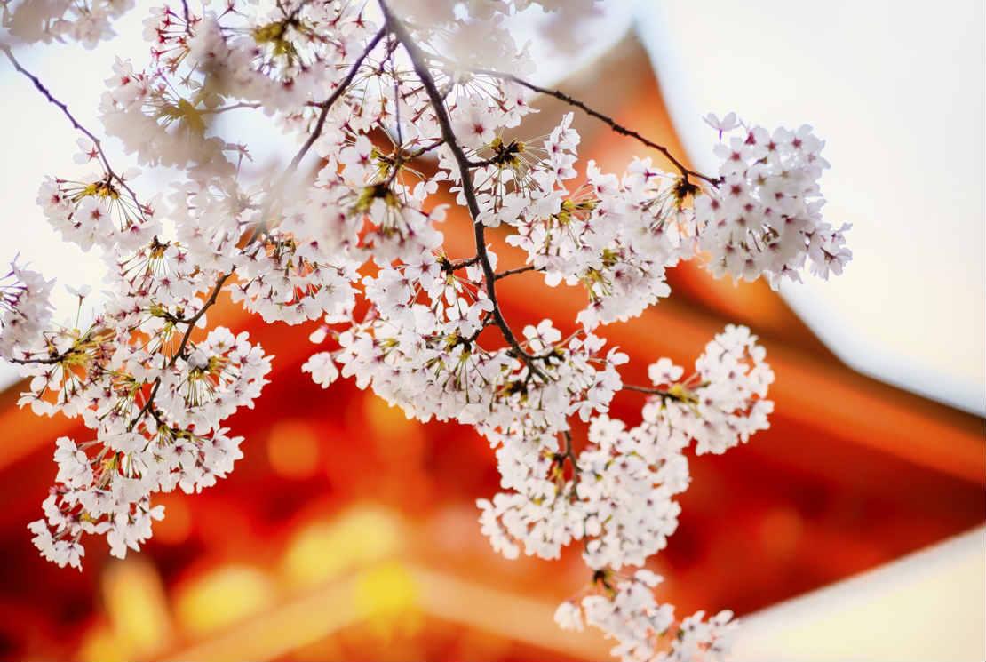 Le Hanami, la fête du printemps