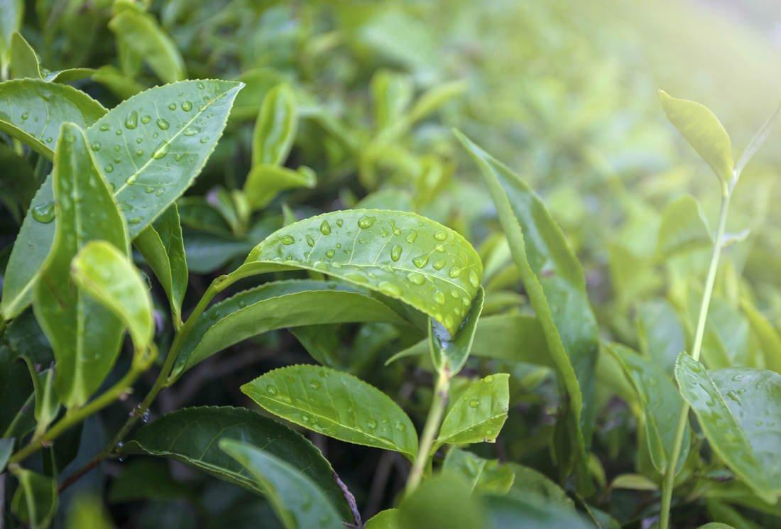 Thé et antioxydants : catéchines, flavonoïdes et autres polyphénols du thé.