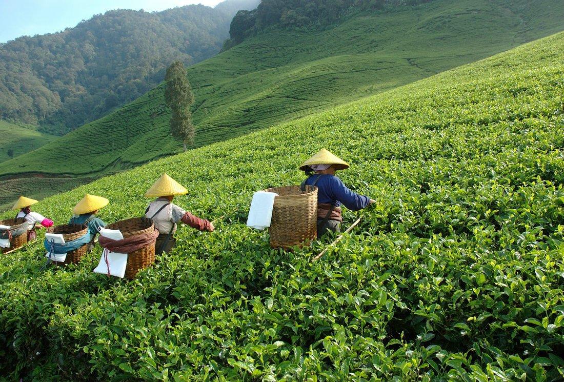 Le thé de Chine, des grands crus mythiques