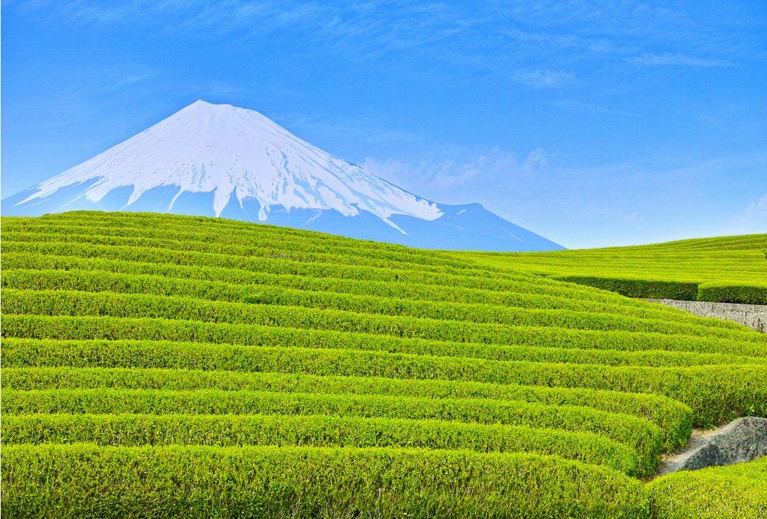 Thés verts japonais ombrés : Gyokuro, Kabusecha, Tencha