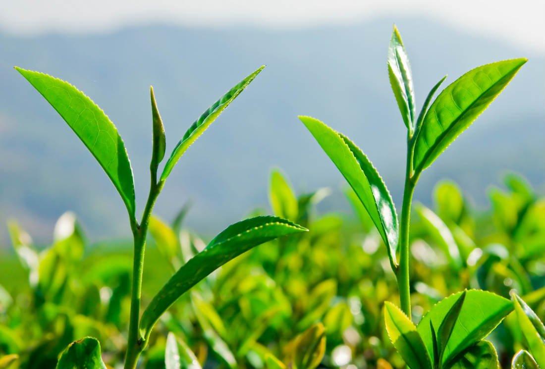 Hao Ling, un thé antioxydant qui protège le foie