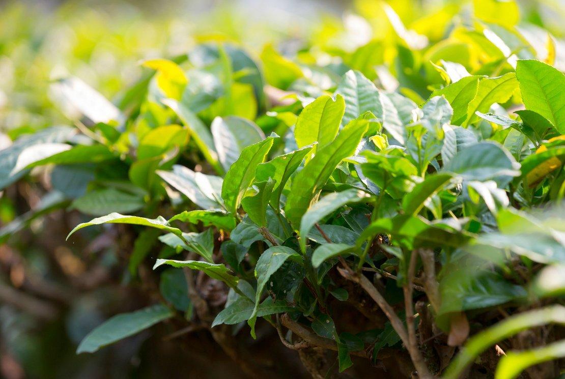 Les antioxydants du thé Hao Ling au secours de nos vaisseaux