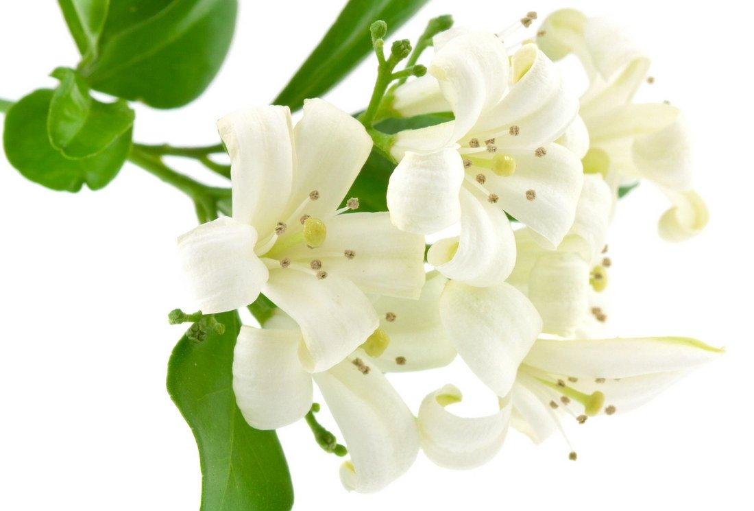 Les secrets ancestraux du thé au jasmin