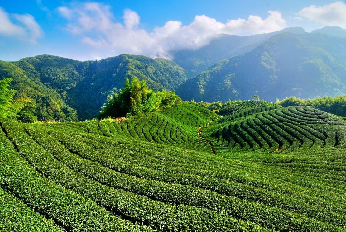 Les thés du Sri Lanka : équilibre entre latitude, altitude et exposition