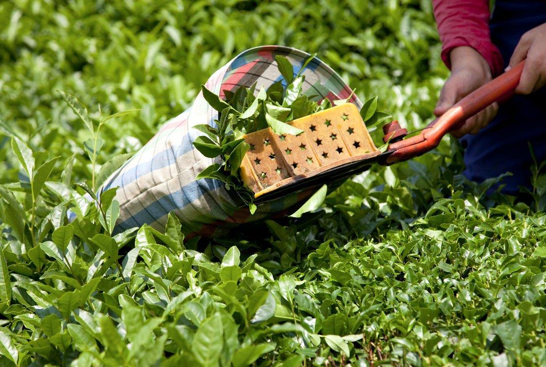 Les critères d'une plantation de thé exceptionnelle