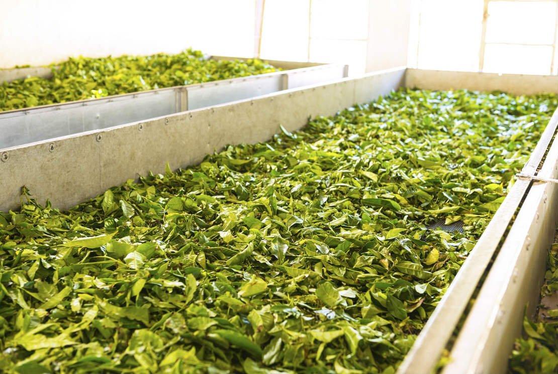 Secrets de fabrication du thé vert
