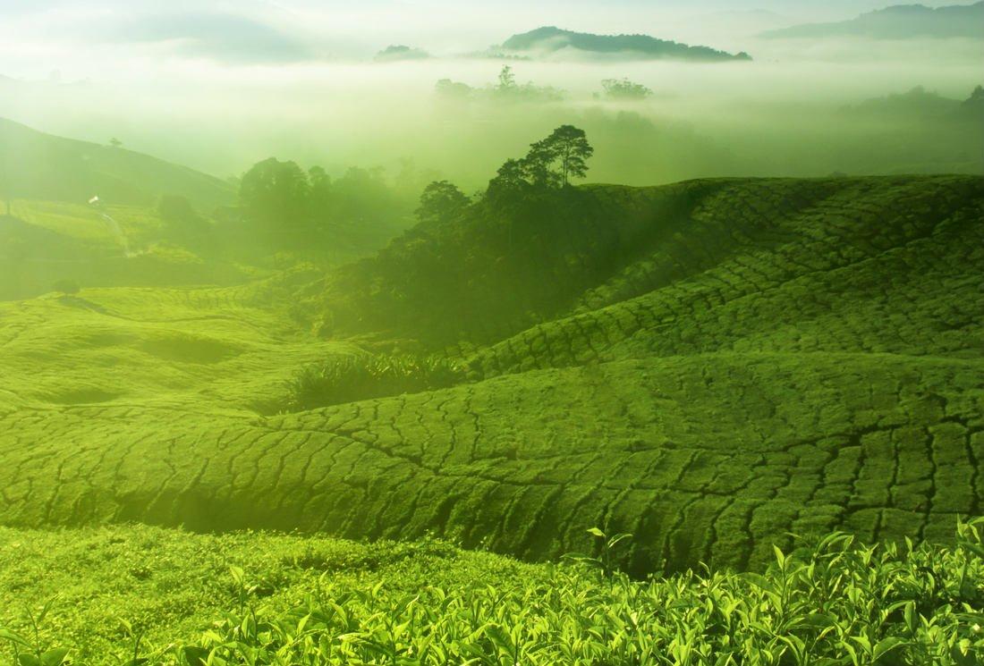 Biotransformation of tea polyphenols by gut microbiota