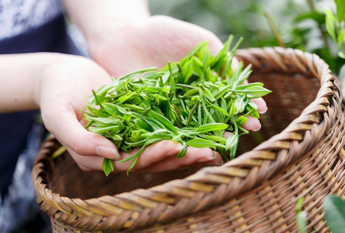 Le thé bio : comment le cultive-t-on, quelles sont les garanties pour les consommateurs ?