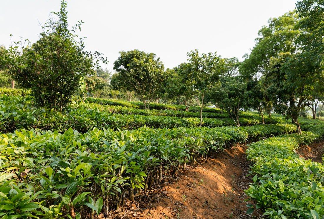 Consommer du thé bio, un enjeu de santé majeur