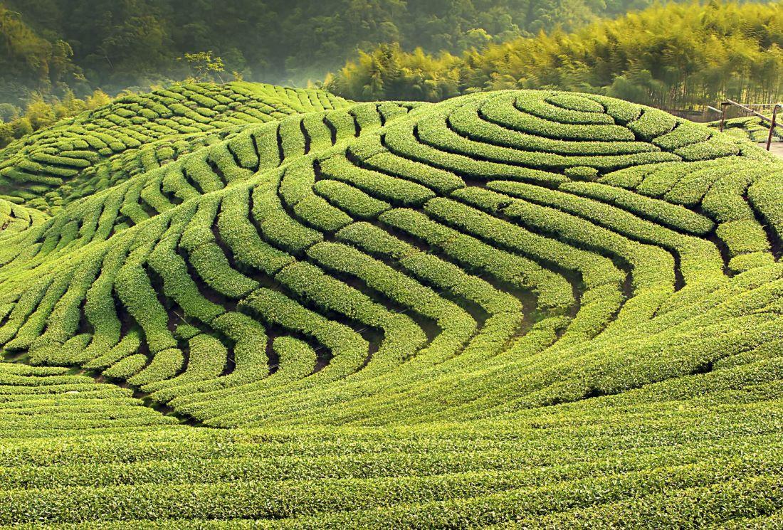 Préparation et bienfaits du thé vert Sencha